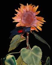 sunflowerwithflashcloseup